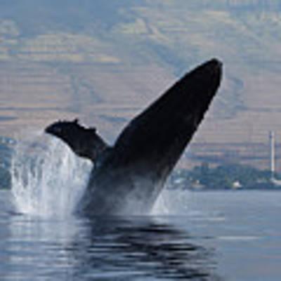 Humpback Whale Breach Poster by Jennifer Ancker
