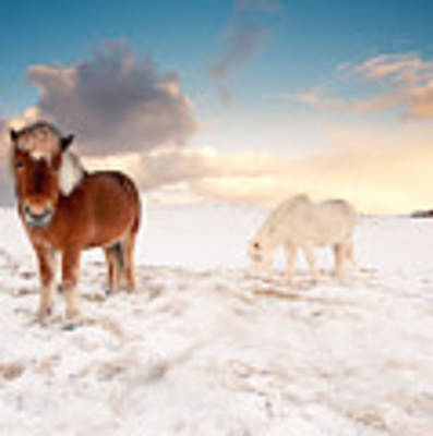 Icelandic Horses On Winter Day Poster