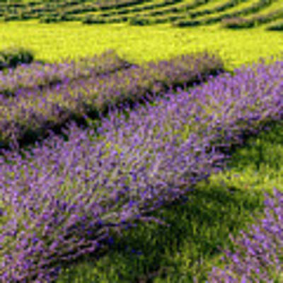 Lavender Fields Forever Poster by Kendall McKernon