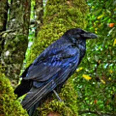 Muir Woods Raven 001 Poster by Lance Vaughn