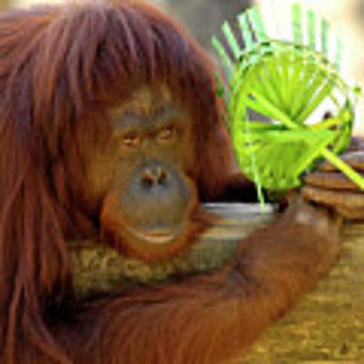 Orangutan Poster by Carolyn Marshall