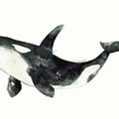 Orca From Arctic And Antarctic Chart Poster