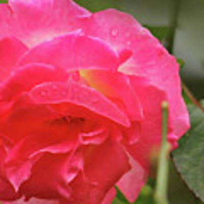Pink Rose Poster by Kelly Hazel