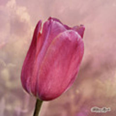 Pink Tulip In The Clouds Poster by William Havle