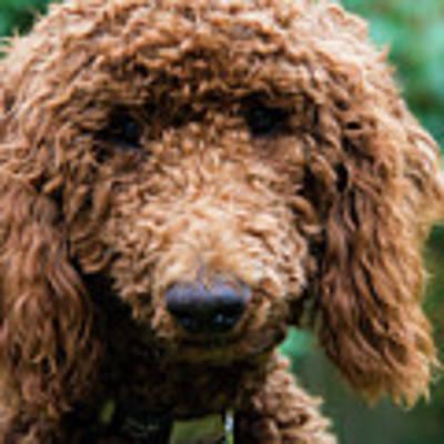 Poodle Pup Poster by Jennifer Ancker