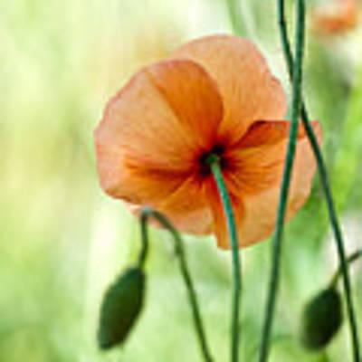 Red Corn Poppy Flowers 02 Poster by Nailia Schwarz