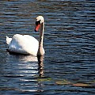 Reflecting Swan Poster by Wayne Marshall Chase