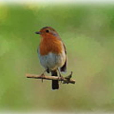 Robin-1 Poster by Paul Gulliver