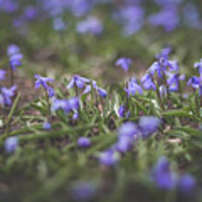 Spring Flowers - Scilla Poster by Viviana Nadowski
