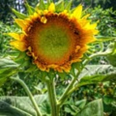 Sunflower In Mocksville Poster by Ben Shields