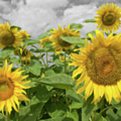 Sunflowers I Poster by Dylan Punke
