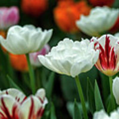 Tulip Flowers Poster by Pradeep Raja Prints