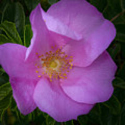Wild Rose Poster by Garvin Hunter