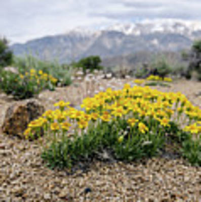 Yellow Mountain Blooms Poster by Margaret Pitcher