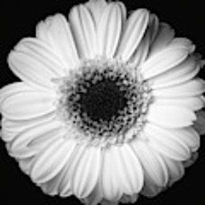 Black And White Flower Poster by Mirko Chessari