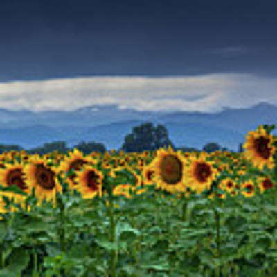 Sunflowers Under A Stormy Sky Poster by John De Bord