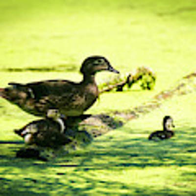 Wood Duck Family Poster by Edward Peterson