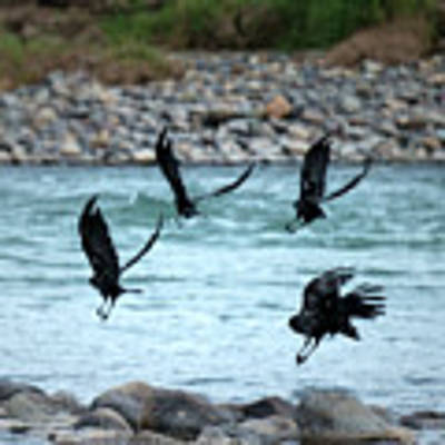 4 Crows At The River Poster by Mary Lee Dereske