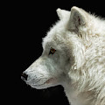 Arctic Wolf In Profile Poster by Susan Rissi Tregoning