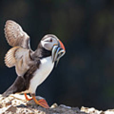 Atlantic Puffin With Sand Eels Poster by Elliott Coleman