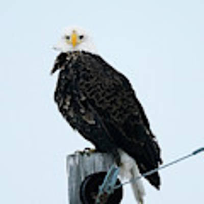 Bald Eagle Watching Me Poster by Edward Peterson
