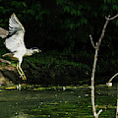 Black-crowned Night Heron In Flight Poster by Edward Peterson
