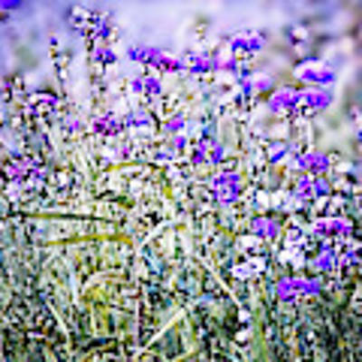 Cornflower Meadow Poster by Susan Maxwell Schmidt