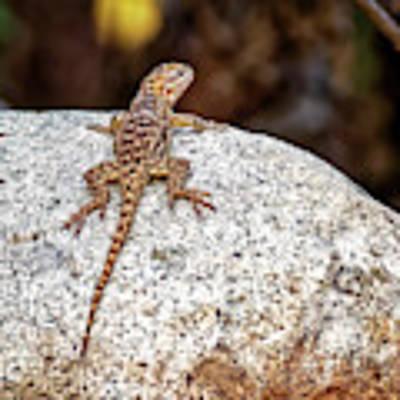 Desert Spiny Lizard H1809 Poster by Mark Myhaver