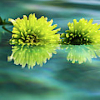 Floating Daisies 2 Poster by Dawn Richards