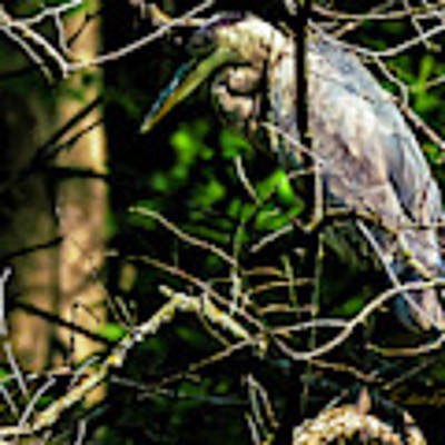 Great Blue Heron In The Tree Poster by Edward Peterson