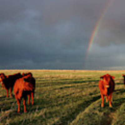 Heifers And Rainbow Poster by Rob Graham
