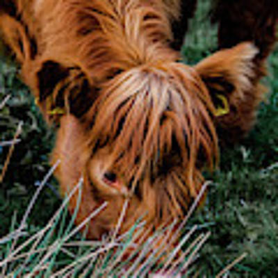 Highland Cow Eating Close Up Poster by Scott Lyons