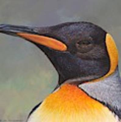 King Penguin Portrait By Alan M Hunt Poster by Alan M Hunt