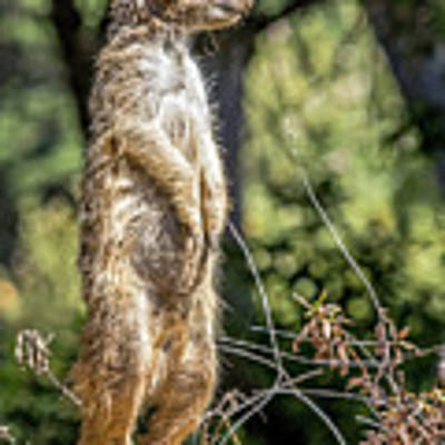 Meerkat Alert Poster by Kate Brown