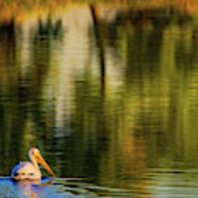 Pelican In Sunlight Poster by John De Bord