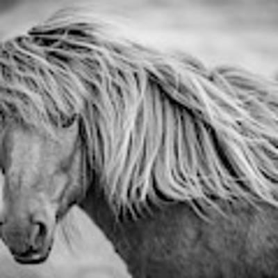Portrait Of Icelandic Horse In Black And White Poster by Gigi Ebert