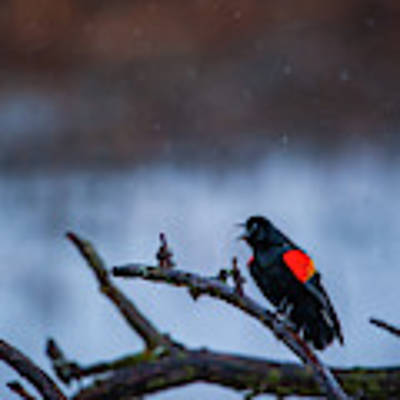 Red-winged Blackbird Protests Poster by Jeff Phillippi