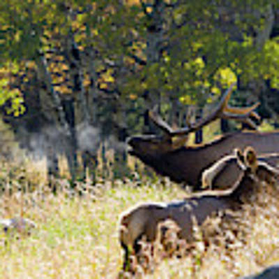 Rocky Mountain Bull Elk Bugeling Poster by Nathan Bush