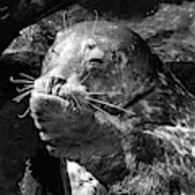 Sea Lion Pup Poster by Edward Fielding