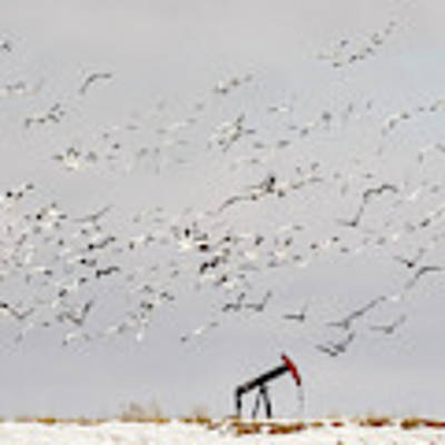 Snow Geese Over Oil Pump 02 Poster by Rob Graham