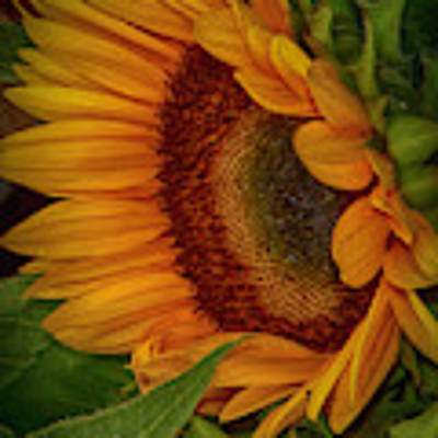 Sunflower Beauty Poster by Judy Hall-Folde