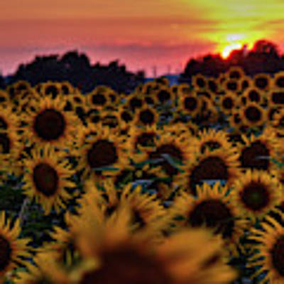Sunflower Sunset 001 Poster by Lance Vaughn