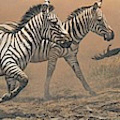 The Race - Zebras Poster by Alan M Hunt