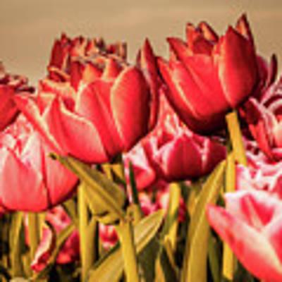 Tulip Fields Poster by Anjo Ten Kate