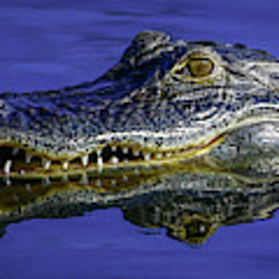 Wetlands Gator Close-up Poster by Tom Claud
