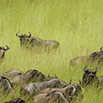 Wildebeest In Tall Grass Poster by Mary Lee Dereske