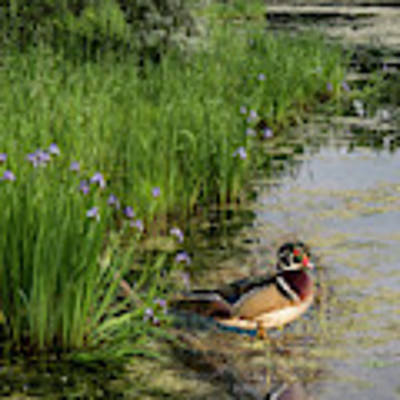 Wood Duck And Iris Poster by Patti Deters
