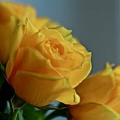 Yellow Roses Poster by Ann E Robson