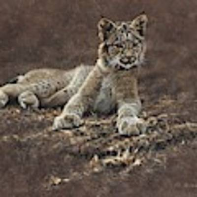 Young Bobcat By Alan M Hunt Poster by Alan M Hunt