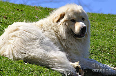 Great Pyrenees Photographs